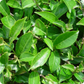 Компонент кремов Тилайн: масло чайного дерева