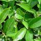 Экстракт зеленого чая. Компоненты кремов и косметики Тилайн